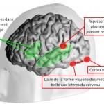 Le cerveau lecteur