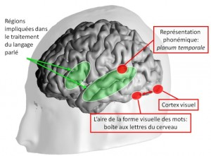 Voici les principaux changements qu'induit la lecture dans le cerveau.